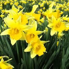 Daffodil Day Cancelled!